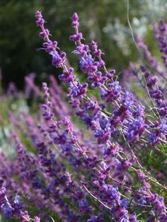 Woolly Bluecurls (Trichostema spp.)- This plant blooms in late spring through late summer with the most strangely beautiful flowers of bluish lavender. The leaves are intensely fragrant, and the plant is noticed by everyone.