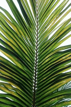 green palm #tropical