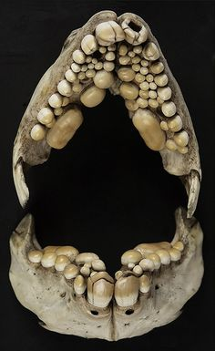 Bream (Sparus aurata) Fish Jaw & Teeth. Circa 1894. Natural History Museum, Oxford, England.