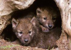 Alaska's Wildlife needs URGENT help!  #world #urgent #animals #alaska #usa #help #share #call #senate #animalabuse #hunting #attackonanimals