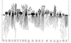 Root systems of prairie plants   ftp://ftp-fc.sc.egov.usda.gov/IL/techres/npg/NPGpp5-6-11x17.pdf