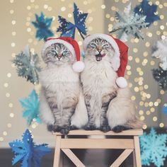 pitterpatterfurryfeet: Happy (almost) Christmas Caterday! (Photo by (at Happy Christmas Time Caterday! ) pitterpatterfurryfeet: Happy (almost) Christmas Caterday! (Photo by (at Happy Christmas Time Caterday! Christmas Kitten, Christmas Animals, Christmas Time, Merry Christmas, I Love Cats, Crazy Cats, Cool Cats, Pretty Cats, Beautiful Cats