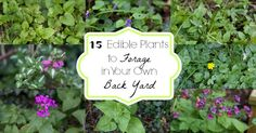 Wondering which edible plants may be in your neighborhood or your very own back yard? Here are some very common edible plants to look for!