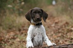 I can't express enough how much I love german shorthaired pointers.