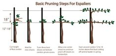 Tree Options for Small Spaces Growing apple trees can be a viable option for people with limited space. Benefits of smaller compact trees: Saves space. Provides easier access for pruning, picking and pest control… Garden Compost, Vegetable Garden, Gardening, Fruit Garden, Growing Apple Trees, Espalier Fruit Trees, Wire Trellis, Tree Pruning, Tree Images