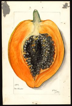 illustration fruits : Papaye