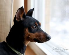 Minpin Rollo waiting for the spring #minpin #miniature #pinscher