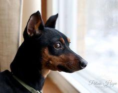 Minpin Rollo waiting for the spring #minpin #miniature #pinscher