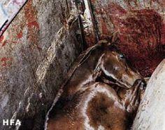 horse slaughter | Horse Slaughter