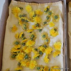 drying dandelions for infused massage oil and homemade salve