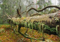 Vuoden Luontokuva 2014 / Kierrätyksessä. Seppo Peltonen #nature #forest #tree #nordic #finland