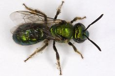 Augochlorella pomoniella, Sweat Bee