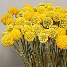 "Sun Ball or Drumstick (Craspedia globosa) Striking golden-yellow blooms make a great bouquet addition. 1"" globes atop long, stiff, unbranched stems. Grass-like, silvery green foliage. Long vase life as a cut, and retains color as a dried flower."