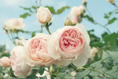 David Austen roses are the ultimate indulgence...every bride should have them!