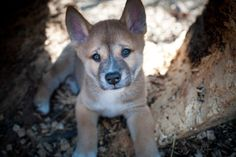 Dingo pup-no wonder I call Alfie a dingo all the time!! Wow-he really may be a dingo after all!