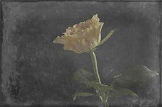 Yellow Rose, Fine Art, Photo Art Art Neville, Art Store, Yellow Roses, Fine Art Gallery, Beautiful Images, Photo Art, Painting, Art Gallery, Painting Art