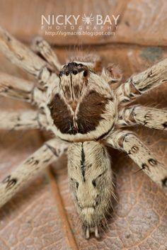 ˚Huntsman Spider (Heteropoda sp.) Huntsman Spider, Macro Photography, Spiders, Spider