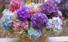 Hydrenga: favorite flower!