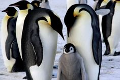 Melting Antarctic ice spells trouble for this Emperor Penguin family.