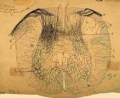 Neurons and Synapses. The History of Its Discovery
