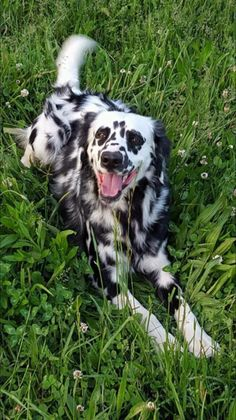 Hope you enjoy nature as much as this Long Haired Dalmation! Cute Puppies, Cute Dogs, Dogs And Puppies, Doggies, Dog Pictures, Animal Pictures, Pet Photos, Animals And Pets, Cute Animals