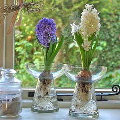 Hyacinth Bulb Vase By Ella James Notonthehighstreet Tulips In Daffodils