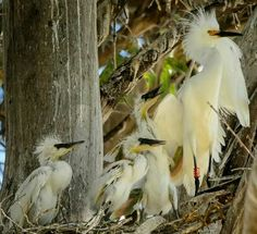 A banded snowy egret with her chicks ❤