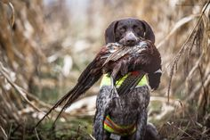 german shorthaired pointer point | Pheasant Hunt | Autumn 2016 - German Shorthaired Pointer blog