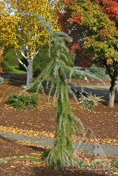 Cedrus deodara Blue Snake: A slow-growing, narrow, pendulous evergreen conifer with gray-blue needles. If staked, can resemble a rising snake. Just as nice leaving it to crawl on the ground. Trees And Shrubs, Cedrus Deodara, Butterfly Garden, Exterior, Evergreen, Plants, Evergreen Trees, Plant Catalogs, Garden Trees