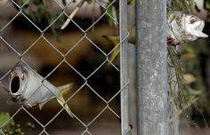 Fish stuck in a fence on September 15 after flood waters caused by Hurricane Ike recede, in West Orange, Texas. Photo c/o The Telegraph