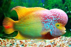 flower horn fish, never knew these existed, how cool