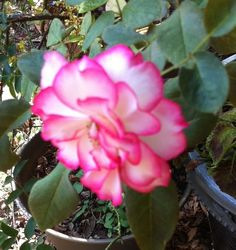 Rose from Armstrong's in Palos Verdes, CA