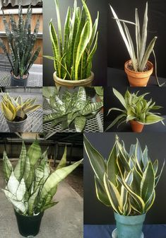 Plants are the Strangest People Sansevieria Plant, Sansevieria Trifasciata, Cacti And Succulents, Planting Succulents, Bottle Garden, Snake Plant, Diy Planters, Plant Design, Garden Crafts
