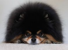 Mocha the #pomeranian  (@mochapom_) • Instagram photos and videos