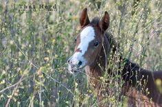 wild horse photography of a new foal in tall mustard plants