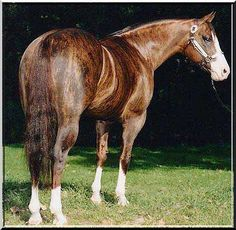 Brindle quarter horse--such an unusual coloration. The genetics behind it are fascinating.