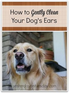 How to Clean Dog's Ears with stuff you have at home from http://yesterdayontuesday.com #dogs #petcare #pets