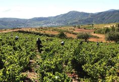 Bodegas y Viñedos Peique, vinos de familia