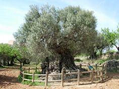 Milenarim olive tree in Horta de Sant Joan, Spain