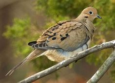 Mourning Dove birds we should see in our yard.  Note nesting and feeding info on page.