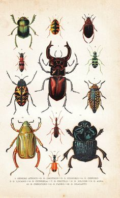 1920 Beetles Antique Chromolithograph Coleoptera Print