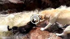 Собака Спасает Товарища из Реки amazing moment dog saves dog