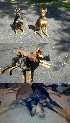 Two dobes are really good friends.