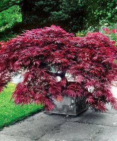 Japanese Maple 'Dissectum Garnet'