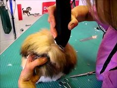 Scooby The Shih Tzu @ Dirty Dogs Grooming Studio Uttoxeter.wmv