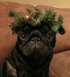 from Kiko's Place (Pug Tails) FB page: Good Morning Darlings! Happy December 1st! We are busy decking the halls....and apparently me! BOL! Have a super Sunday! Love Kiko