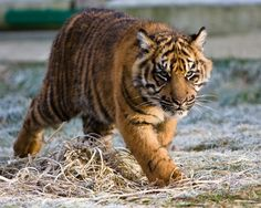 Tiger Cub - On the Prowl   by MacJewell