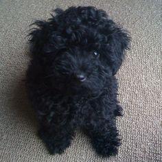 #Puppy #Poodle #Alfie