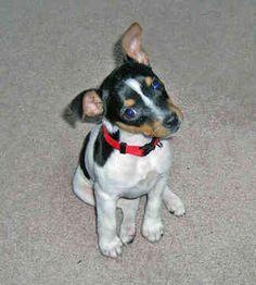 Rat terrier puppy. Too cute!!!