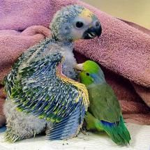 Baby parrot and buddy